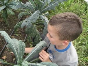 An 8 year old volunteer weeds between rows of dinosaur kale